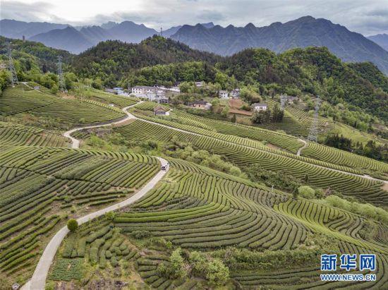 湖北五峰:茶乡生态美