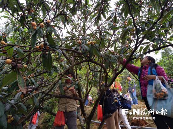 福州枇杷种植面积逾10万亩 永泰枇杷采摘季启动
