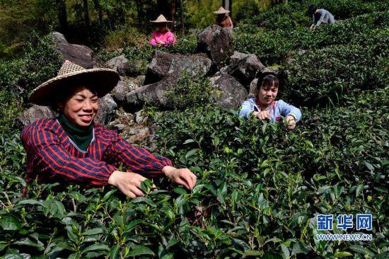 (经济)(4)一片叶子,成就一个乡村