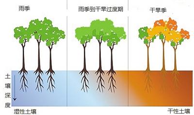 干旱期间森林变绿和树木死亡率上升为何会同时存在