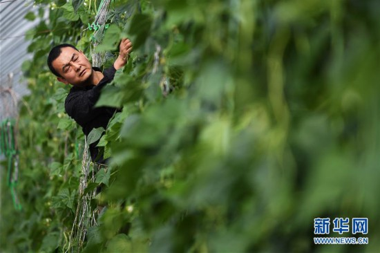 """甘肃酒泉:无土栽培让戈壁荒滩变身""""菜园果篮"""""""