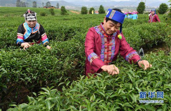 闽北茶农迎来采茶季 绿色茶园成踏青好去处