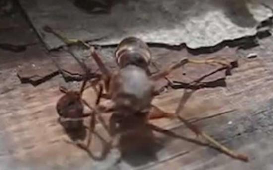 惊呆了!断头黄蜂找到脑袋抱其飞离现场(图)