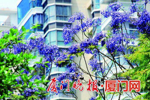 厦门蓝花楹盛开半个月 忠仑公园等多个公园可赏