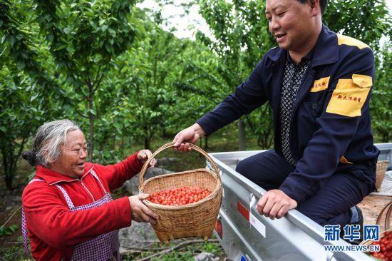 (经济)(1)贵州六枝:红樱桃助力乡村振兴