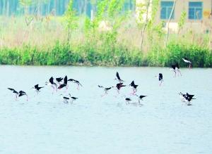 宿迁沭阳:生态好鹬鸟来