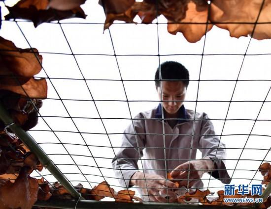 #(社会)(1)四川内江:发展黄背木耳 助力精准扶贫