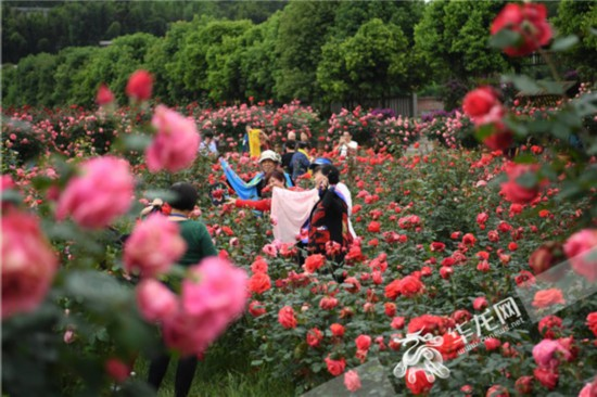 南川:木凉七朵玫瑰园开园
