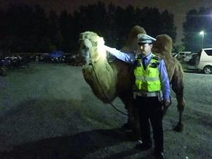 """男子在南京牵着骆驼""""卖艺"""" 一查是在逃人员"""