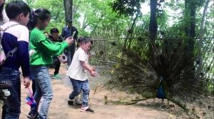"""扬州动物园孔雀遭拔毛成""""公鸡"""" 园方已加强管理"""