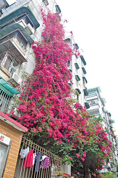 广州一小区7层楼高簕杜鹃告别街坊为装电梯腾位 街坊惋惜不舍