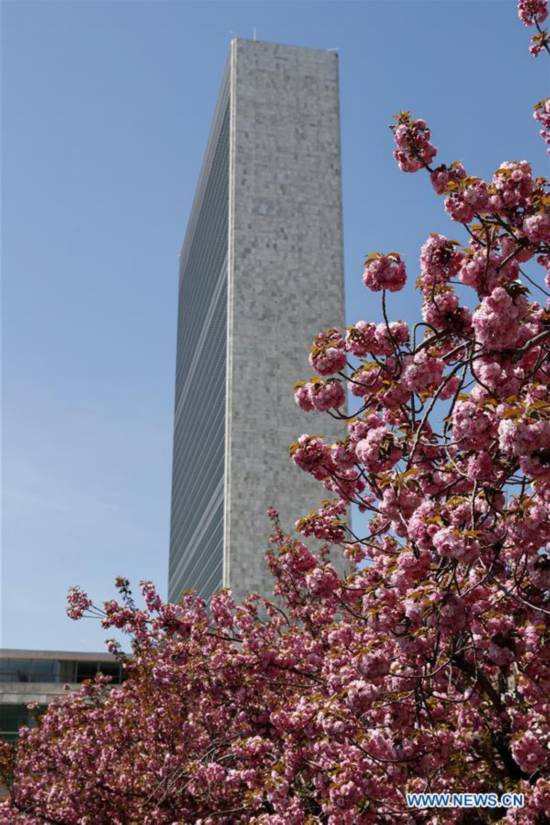 Cherry blossoms seen at UN headquarters in New York