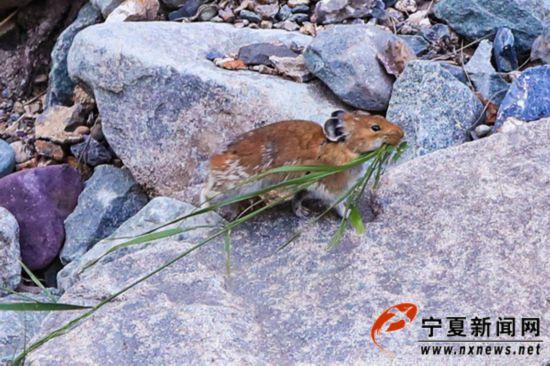 宁夏贺兰山国家森林公园发现世界极危物种贺兰山鼠兔