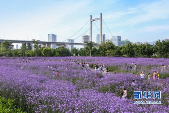 """福州:""""头顶上的紫色花海""""迎风盛开"""