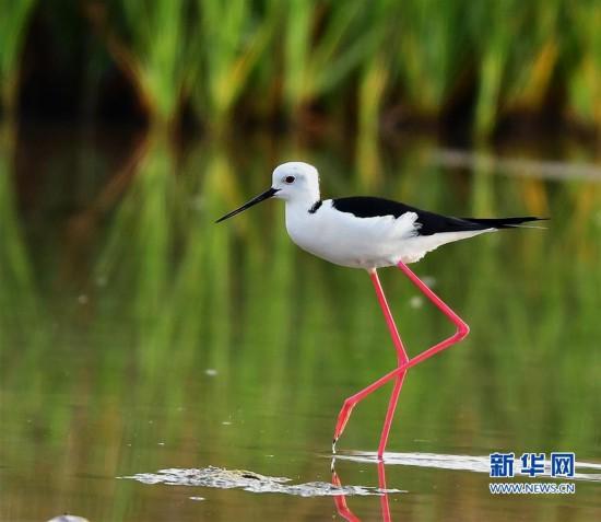 晋江安海:黑翅长脚鹬在滩涂觅食