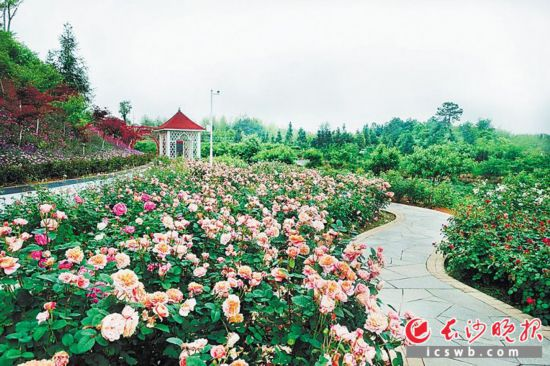 路口镇景然科普基地,玫瑰已花开成海。长沙晚报记者 张洋子 摄