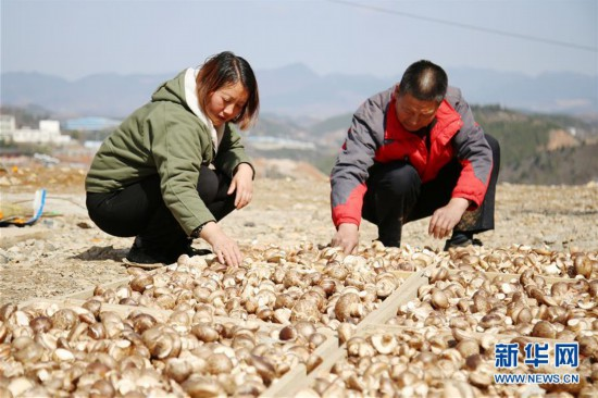 """(圖文互動)香菇小鎮讓貧困戶""""搬得出能致富"""""""