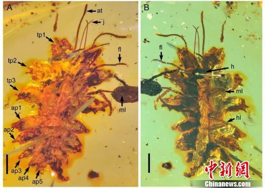 中国科学家在缅甸琥珀中发现一亿年前昆虫拟态行为