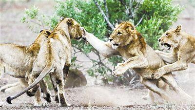 南非狮子 一言不合就动手