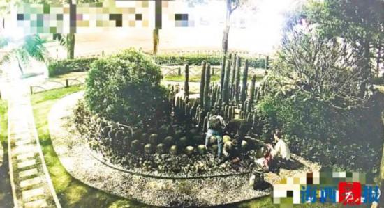 厦门两男两女凌晨开宝马挖走景观仙人掌 目前已被刑拘