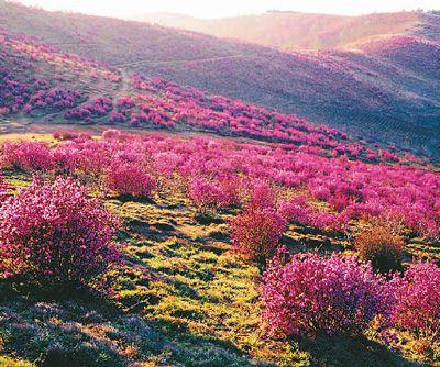 双鸭山—紫云岭森林公园的花海