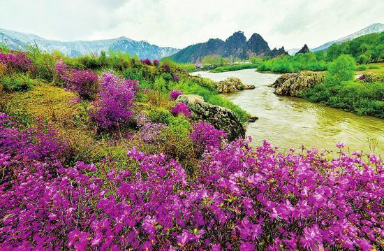 长白县:鸭绿江畔金达莱花美不胜收