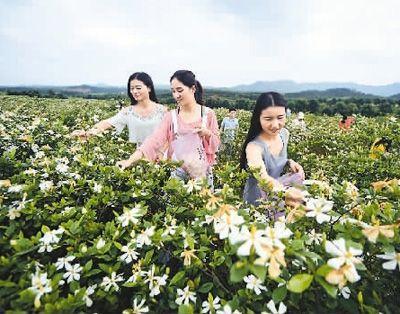 江西省新余市:栀子花开