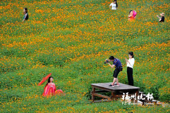 福州花海公园硫华菊开了 预计本周末进入盛花期