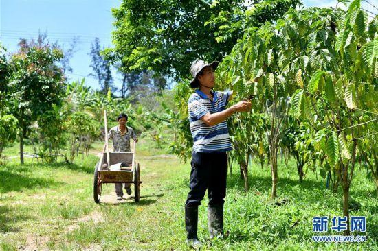 (经济)(1)海南万宁:咖啡产业助推经济发展