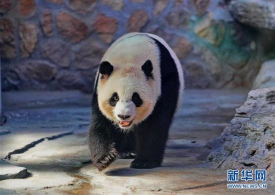 """(社会)(1)四只大熊猫""""做客""""河北"""