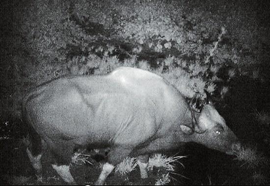 红外相机拍摄到的印度野牛影像。 记者从西双版纳国家级自然保护区管护局获悉,一头印度野牛近日造访西双版纳国家级自然保护区野生动物食物源基地时,被科研人员安装的红外相机拍下了清晰的图像。这是自去年底该食物源基地建成后,首次拍到有野牛到访。 印度野牛属国家一级重点保护动物,是世界上现生牛类中体型最大的种类,也是西双版纳热带森林生态系统的代表性物种。2013年1月至2014年8月,西双版纳国家级自然保护区管护局对全州印度野牛分布范围及种群数量展开了调查。结果表明,印度野牛的分布区域和数量正逐渐减少,由1988年