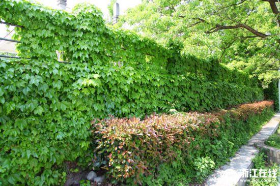 浙江农林大学 爬山虎成景观 建筑被绿色包围