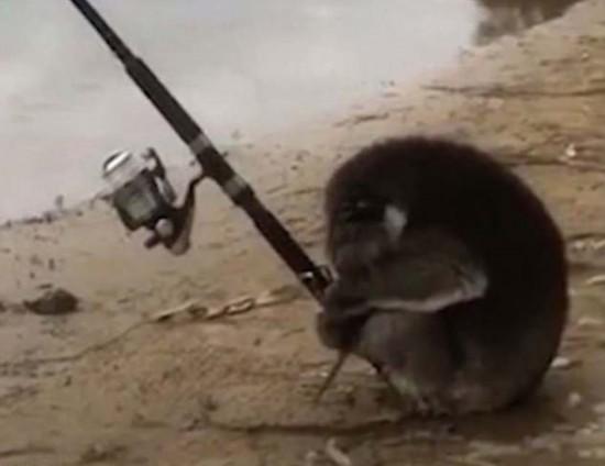 澳超萌考拉河岸用爪子握竿钓鱼呆站半小时(图)