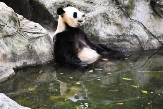 """深圳野生动物园为该园""""怕热""""的动物采取了有效的避暑降温措施,摆设在"""