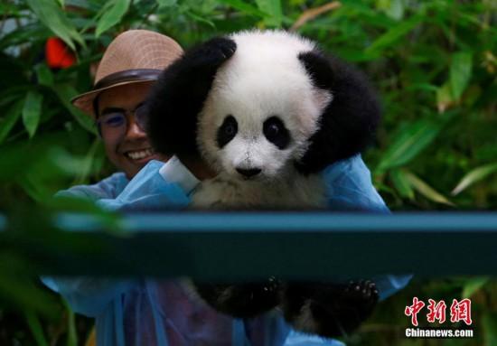 马来西亚新生大熊猫宝宝首亮相 小爪爪抱脑袋表情萌化