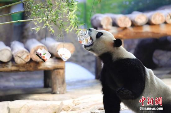 """35℃高温 广州大熊猫消暑有""""凉""""方"""