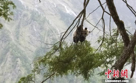 """四川卧龙发现""""世外熊园""""野生大熊猫宝宝不怕人"""