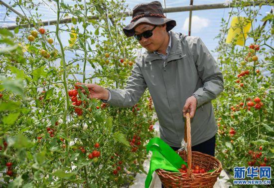 """(经济)(4)西藏白朗""""田园超市""""迎来采摘季"""