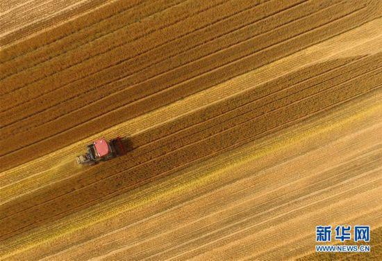 麦收季 金满地