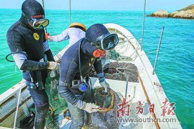 南澳渔民潜水捕捞海胆 远销国内外
