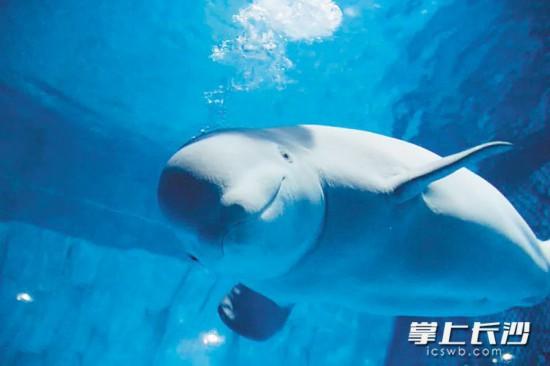 长沙海底世界的白鲸