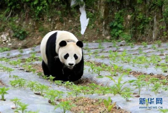5月31日,一只大熊猫来到汶川县绵�镇金波村的田地里。