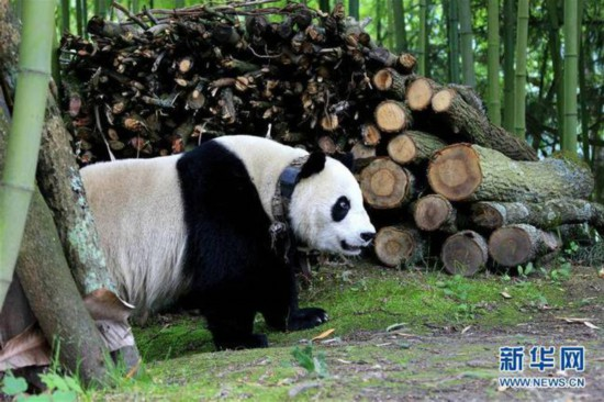 5月31日,一只大熊猫来到汶川县绵�镇金波村。