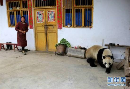 5月31日,一只大熊猫来到汶川县绵�镇金波村一农户家里。