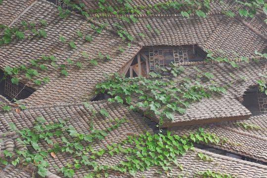 初夏时节,爬山虎为城市带来一片片绿色