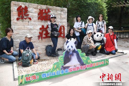 """日本热心""""熊猫粉""""组团来深圳看望海归大熊猫""""秋浜"""""""