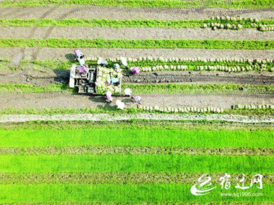 宿迁泗洪146万亩小麦陆续开镰