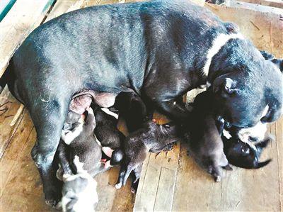 这条狗狗厉害了剖腹产下10只幼崽