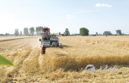 风吹麦浪涌 盐城大丰确保成熟小麦颗粒归仓