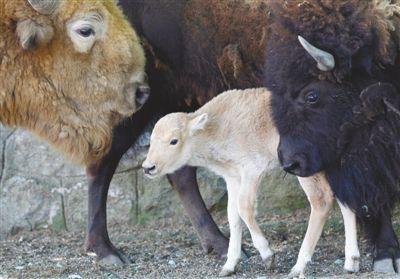 白色美洲野牛降生